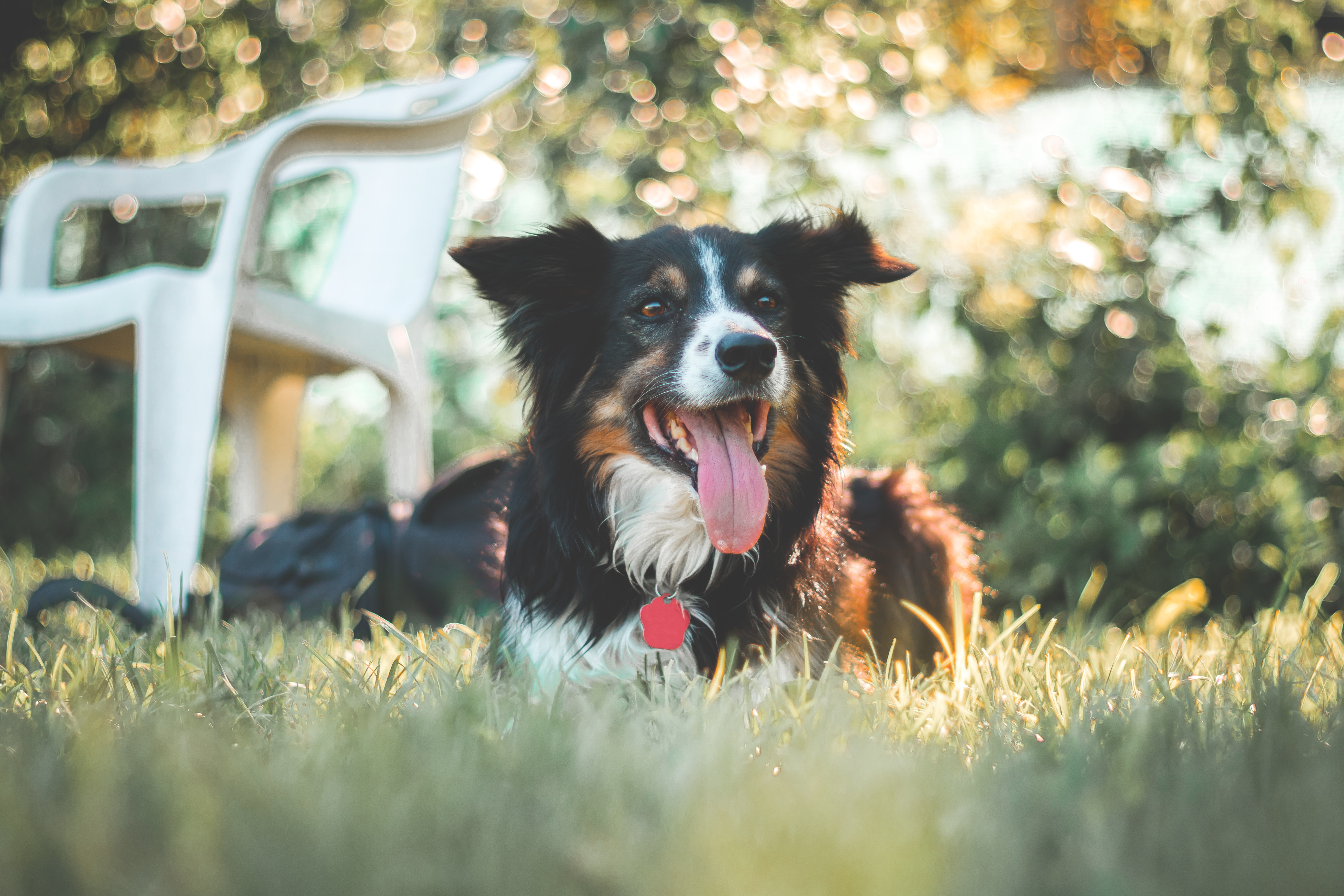 Happy border collie with tongue out lying on grass