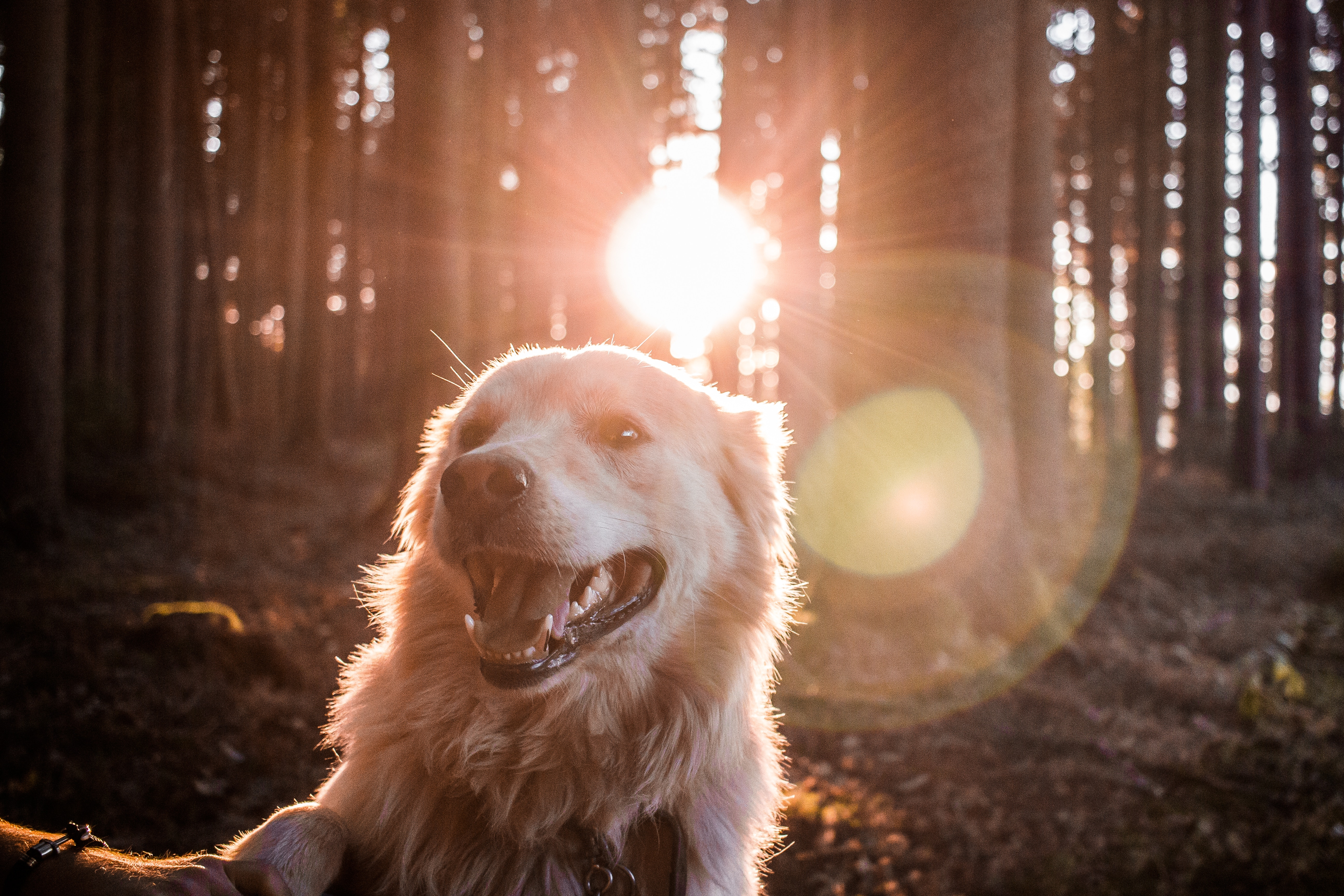 Golden in forest with sun behind